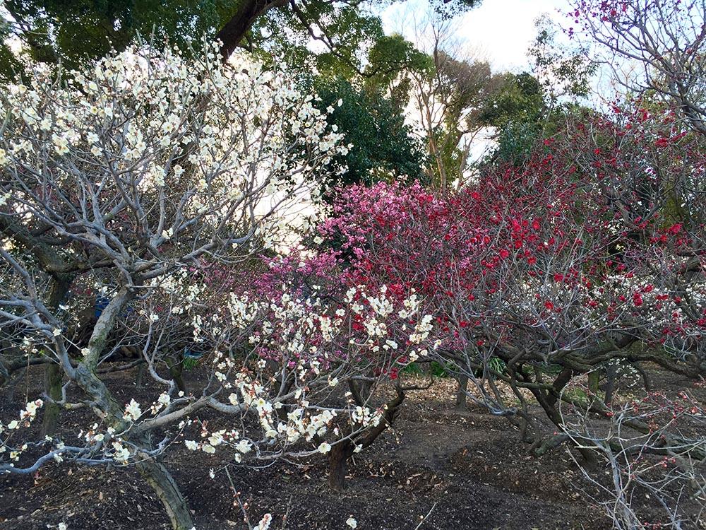 道明寺天満宮の梅園。 2016年2月3日撮影時、既に一部の梅は咲いていました。 2016年の梅まつりは、2月10日(水)~3月13日(日) までの開催。 http://www.domyojitenmangu.com/ume.shtml
